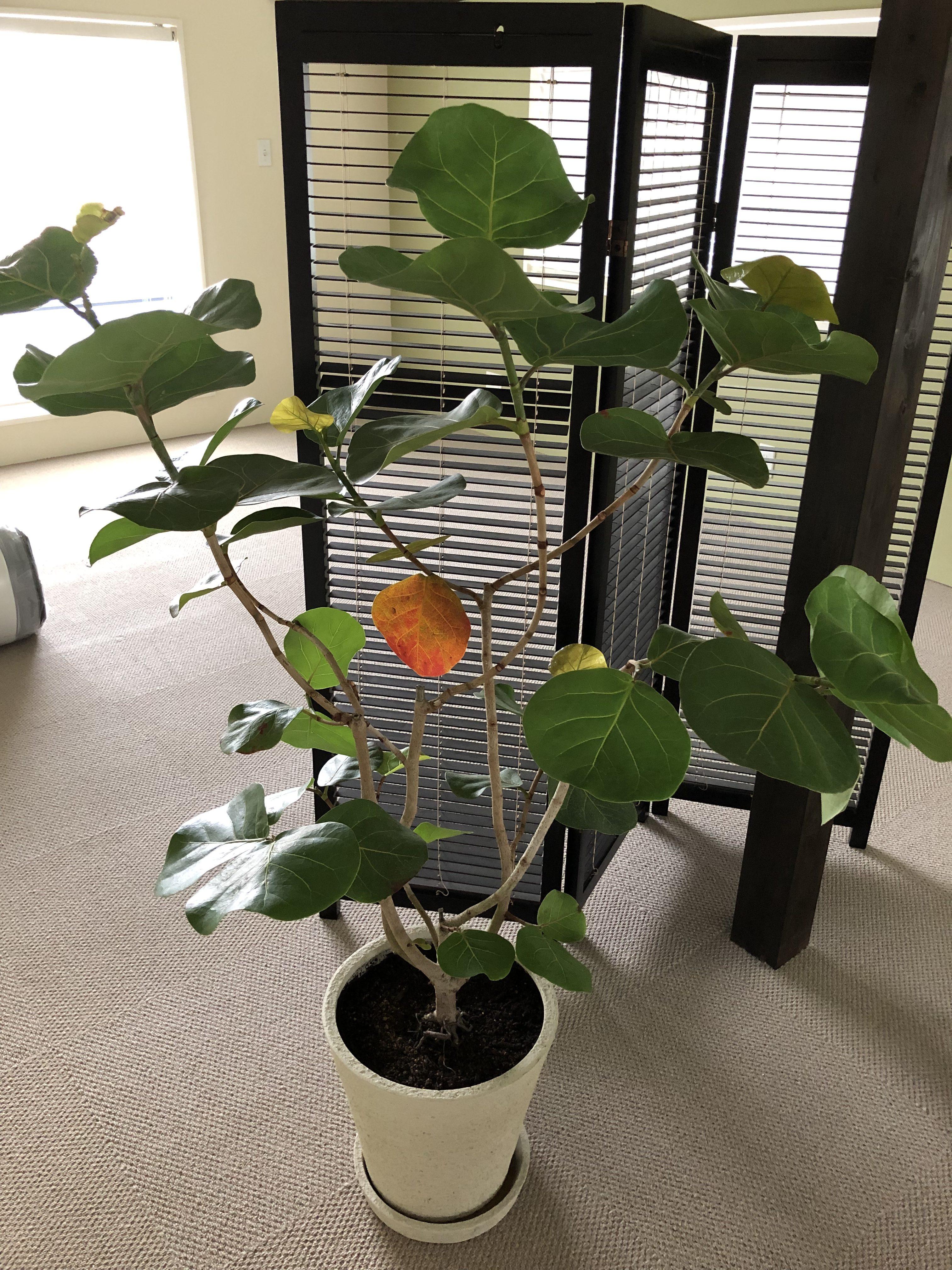 シーグレープ 観葉植物